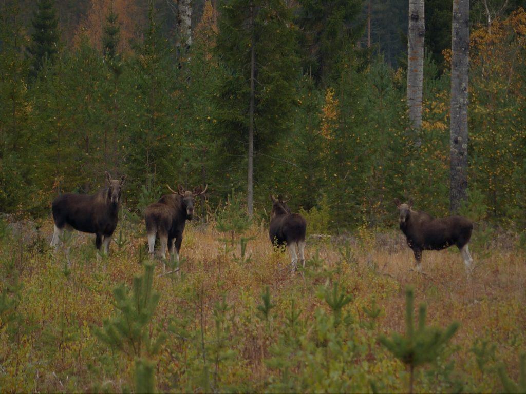 Vier Elche aus Finnland